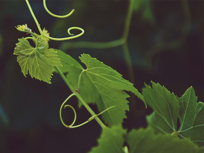 Innovazioni per una vitivinicoltura sostenibile | 26 Luglio 2018